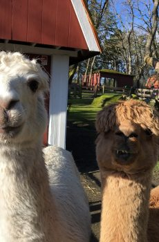 photo of alpacas