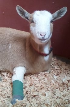 photo of goat in cast