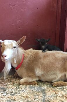 photo of goat and her baby