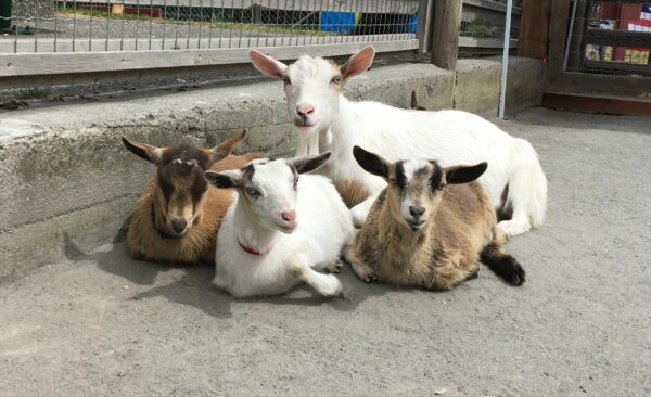 photo of goat and her 3 babies