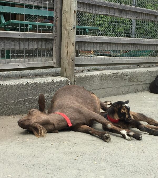 photo of goat laying beside her baby