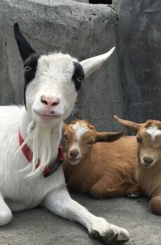 photo of goat and her 2 babies